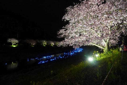 022夜桜1