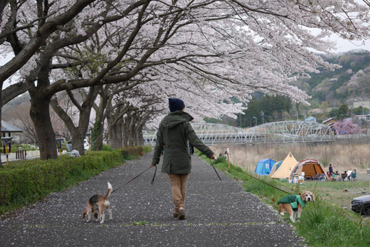 000桜並木散歩