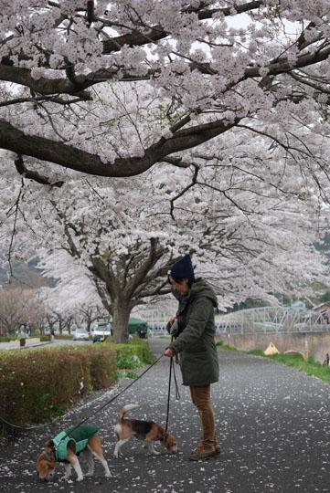 016桜下散歩3