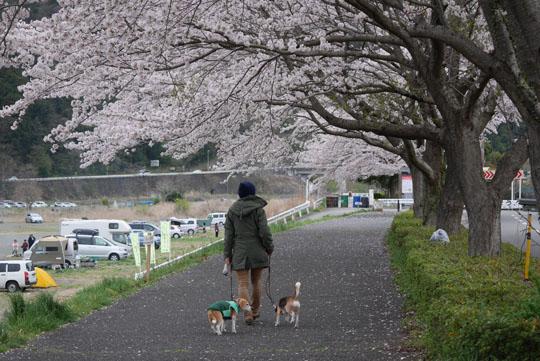 015桜下散歩2