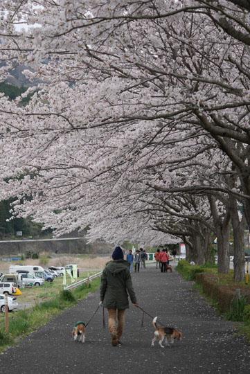 014桜下散歩