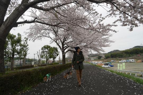 017桜下散歩4