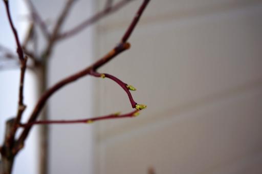 ブルーベリー 春
