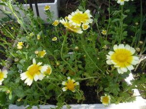 5-16春菊