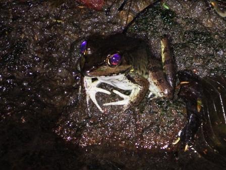 Smokey Jungle Frog2