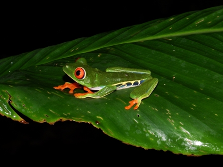 Red-eyed Tree Frog1