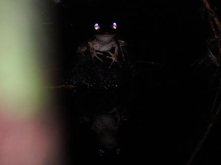 Smokey Jungle Frog1