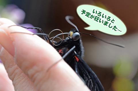kuroageha9_042615