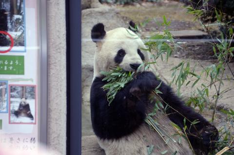 panda4_020914