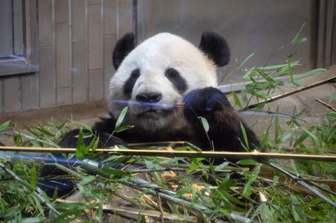 panda9_020914