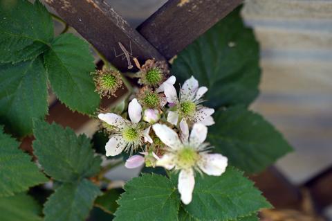 raspberry2_053015