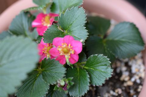 strawberry2_053015