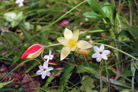 tulip_04215.jpg