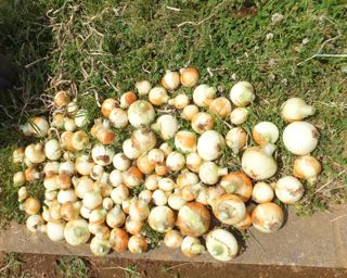 タマネギ 収穫