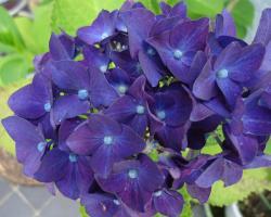 紫陽花 済