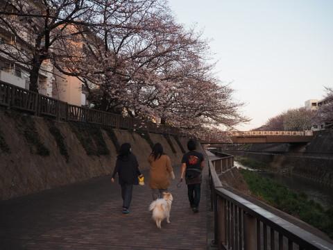 h27,3花見散歩のアロー