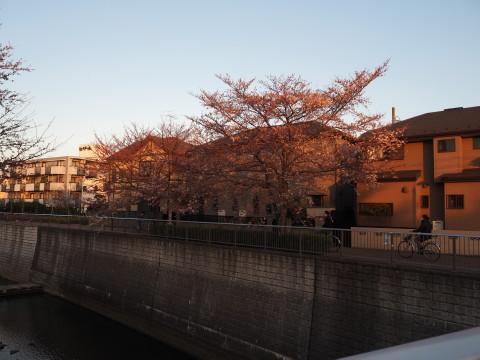 h27,3花見散歩の桜
