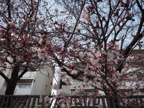 h27,3花見散歩の桜2