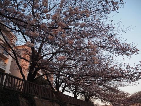 h27,3花見散歩の桜3