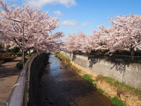 H27,4満開の桜