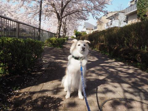 H27,4桜とアロー
