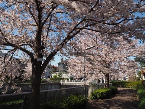 H27,4満開の桜3