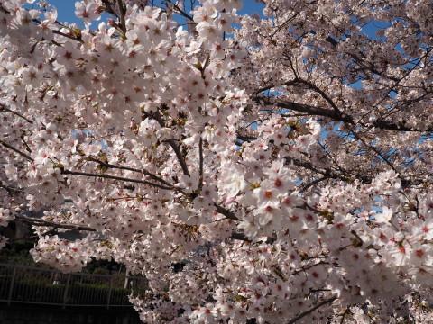 H27,4満開の桜4