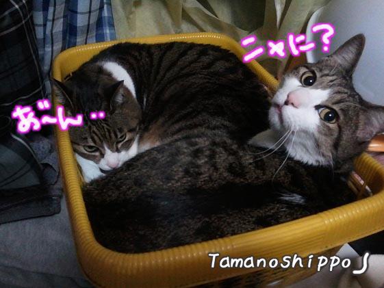 かご猫(たまとちび)カゴ