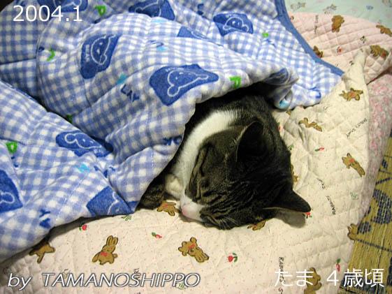 お布団をかけて寝る猫(たま)