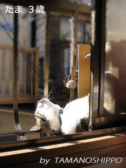 日向ぼっこする猫(たま)