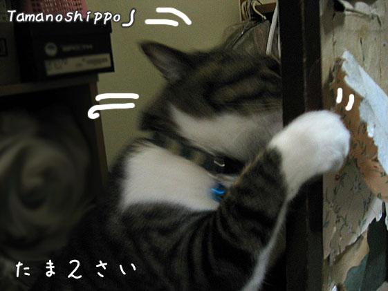 壁を爪でガリガリする猫(たま)