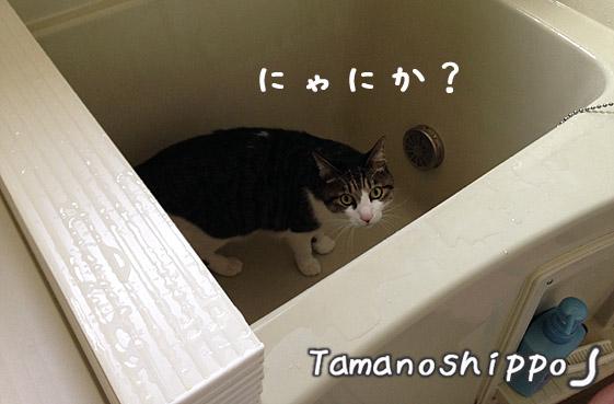 お風呂の中で邪魔をする猫2(ちび)