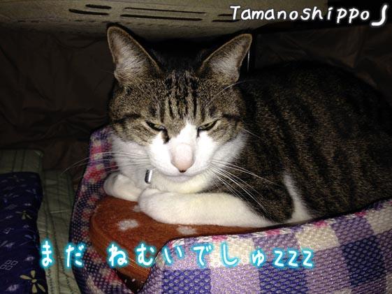 コタツの中で 湯たんぽを抱いて寝る猫(ちび)