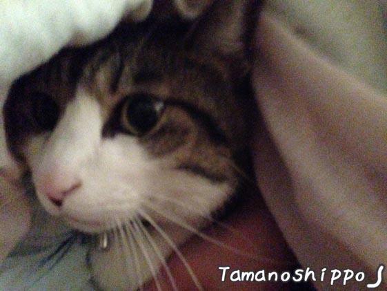 お布団の中の猫(ちび)