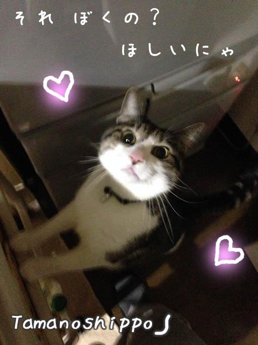 期待を寄せる猫(冷蔵庫の前に来るちびニャン)