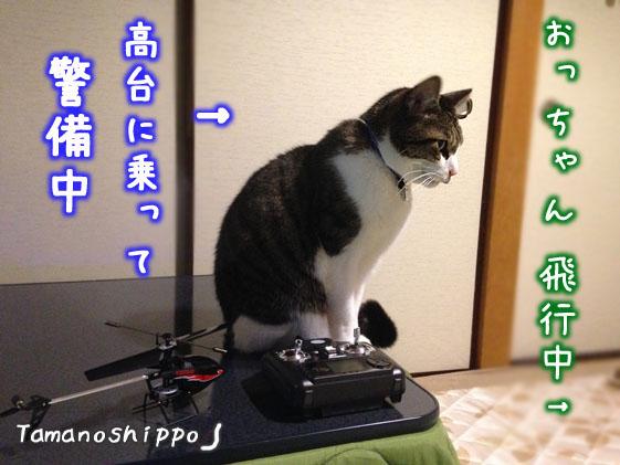 トイヘリを眺める猫(ちび)