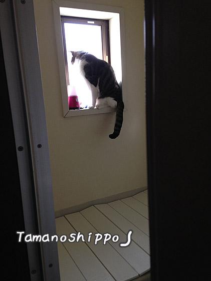 お風呂場の窓に登る猫(ちび)