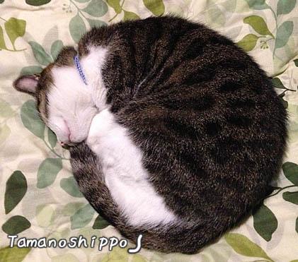 アンモナイト型で寝る猫(ちび)