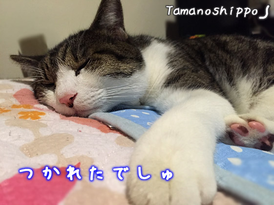 疲れて ふて寝している猫(ちび)