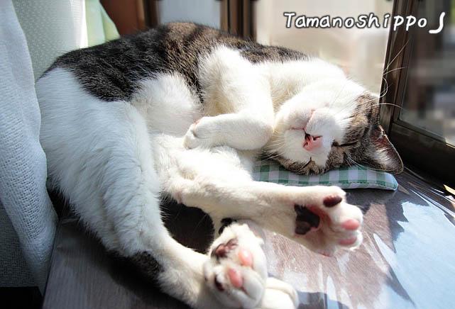 窓辺で気持ち良さそうに寝る猫(ちび)
