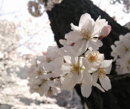 薄墨色の桜花