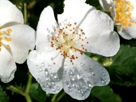 のいばらの花1