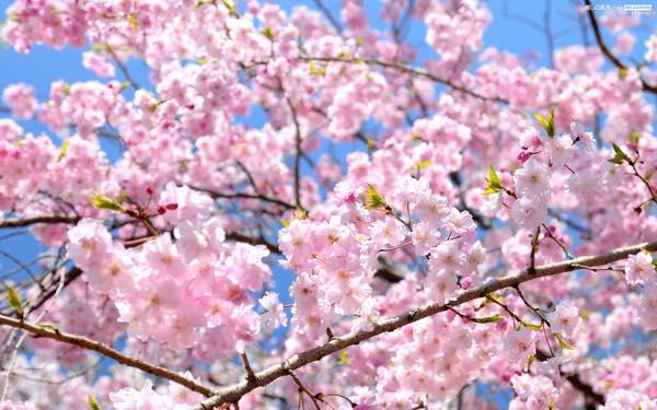 桜0319-2