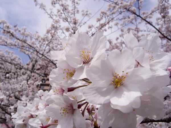 満開の桜0405