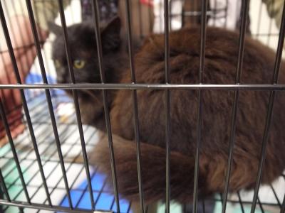 黒猫の長毛ちゃん