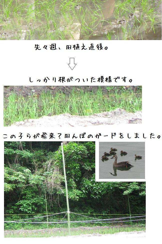 田んぼ2015 IMG_9236