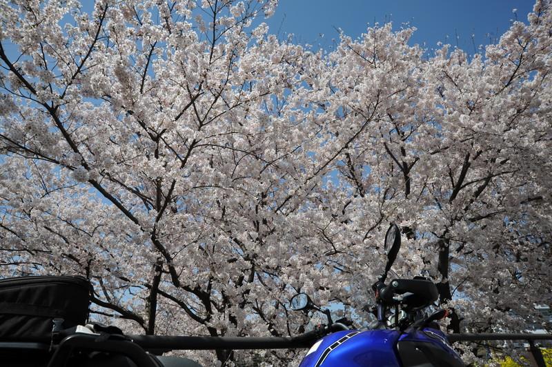 桜満開 (4)