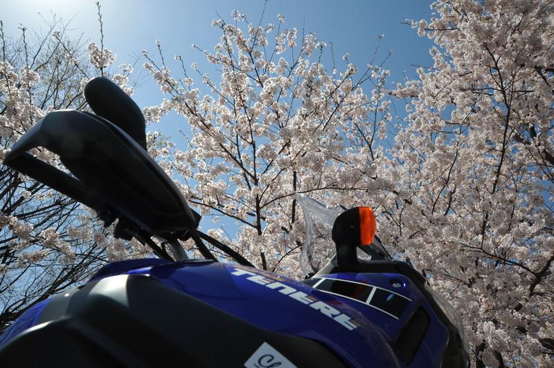 桜満開 (6)