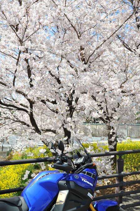 桜満開 (7)