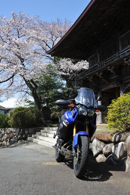 桜満開 (8)